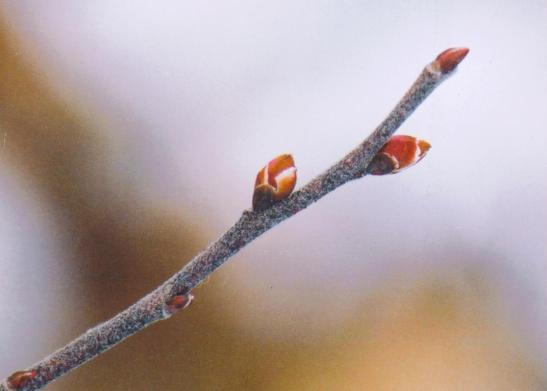 huckleberry bud